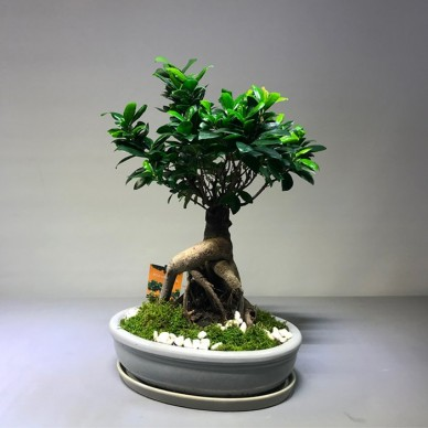 Microcarpa Ginseng Bonsai